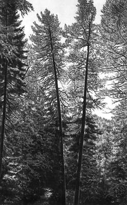 Фото из БСЭ: Кедровый лес